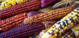 Maïs et ses différentes variances