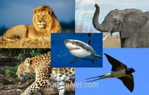 Les sélections nationales de football en Afrique empruntent des noms d'animaux
